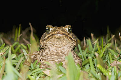 Photograph - Cane Toad by Dan Suzio