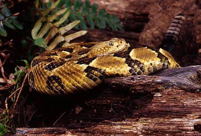Canebrake Rattlesnake Art Print by John Bell