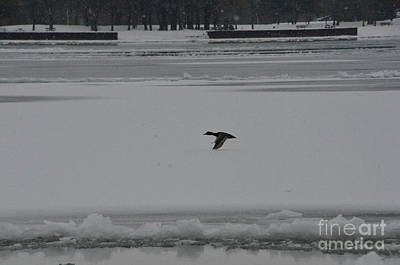 Photograph - Canvasback Duck In Flight by Randy J Heath