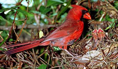Photograph - Cardinal Male Feeding Nestlings by Millard H. Sharp