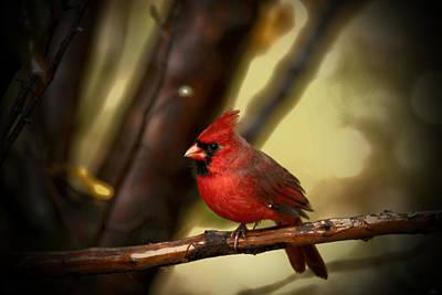Photograph - Cardinal Pose by Karol Livote