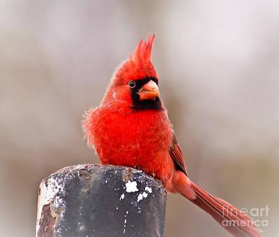 Cardinals. Wildlife. Nature Photograph - Cardinal by Robert Frederick