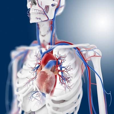 Cardiovascular System, Artwork Art Print by Science Photo Library
