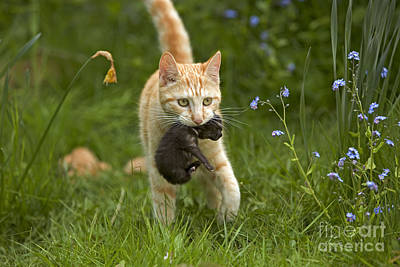 Parental Care Photograph - Cat Carrying Kitten by Jean-Michel Labat