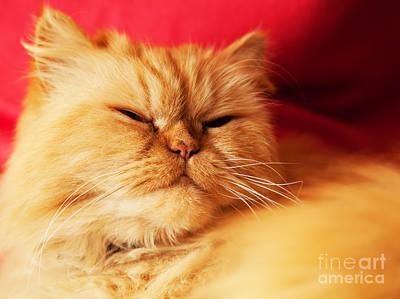 Breed Photograph - Cat Face Close Up Portrait by Michal Bednarek
