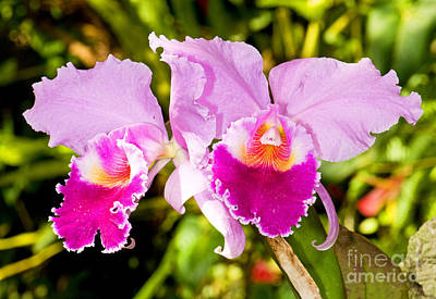 Cattleya Orchid Print by Millard H. Sharp