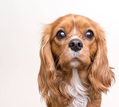 Photograph - Cavalier King Charles Spaniel Puppy by Edward Fielding