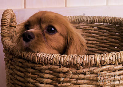 Hiding Photograph - Cavalier King Charles Spaniel Puppy In Basket by Edward Fielding
