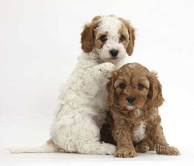 House Pet Photograph - Cavapoo Puppies by Mark Taylor