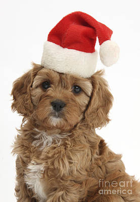 Cavapoo Puppy In Christmas Hat Art Print by Mark Taylor
