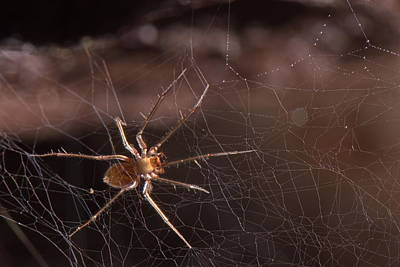 Photograph - Cave Sheet-web Spider by Francesco Tomasinelli