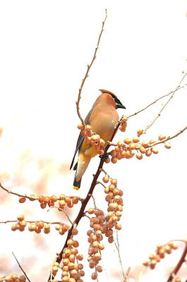 Photograph - Cedar Wax Wing by Floyd Tillery