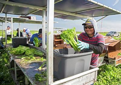 Celery Photograph - Celery Harvest by Jim West