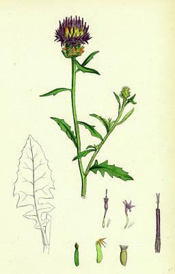 Thistle Drawing - Centaurea Aspera Rough Star-thistle by English School