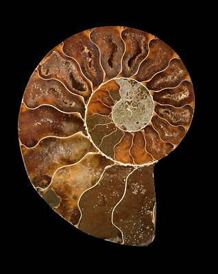 Triassic Photograph - Ceratites Ammonite Fossil by Lawrence Lawry