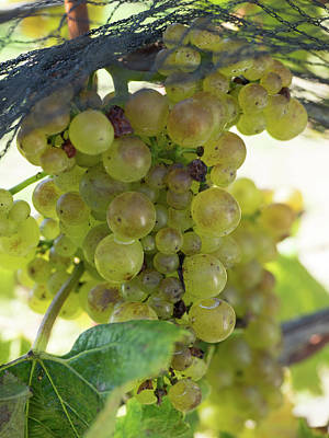 Hawkes Bay Photograph - Chardonnay Grapes On Vine by Panoramic Images