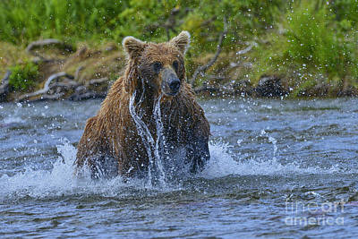 Photograph - Chasing Salmon In Stream by Dan Friend