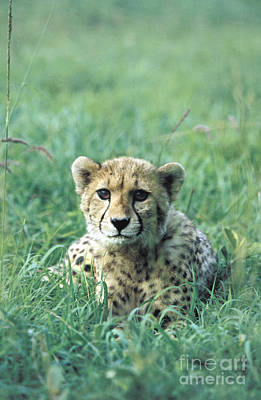 Cheetah Art Print by Mark Newman