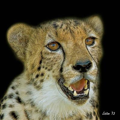 Cheetah Digital Art - Cheetah Portrait 2  by Larry Linton