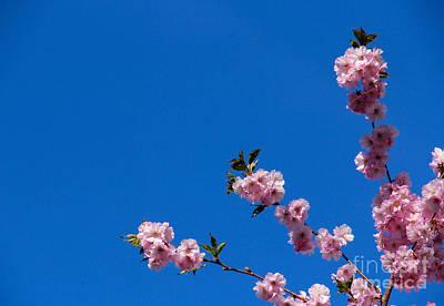 Cherry Blossom Photograph - Cherry Blossom Against Blue Sky by Kerstin Ivarsson