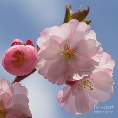 Photograph - Cherry Blossom by Rudi Prott