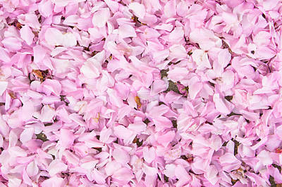 Royalty-Free and Rights-Managed Images - Cherry blossom by Tom Gowanlock