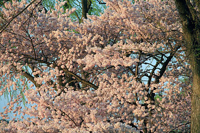 Photograph - Cherry Blossoms In Pink And Brown by Cora Wandel