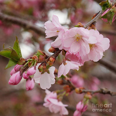 Photograph - Cherry Blossoms by Rudi Prott