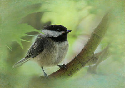 Photograph - Chickadee by Angie Vogel