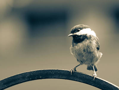 Photograph - Chickadee Dee Dee by Ronda Broatch