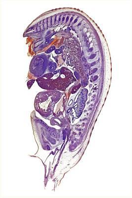 Embryo Photograph - Chicken Embryo by Dr Keith Wheeler