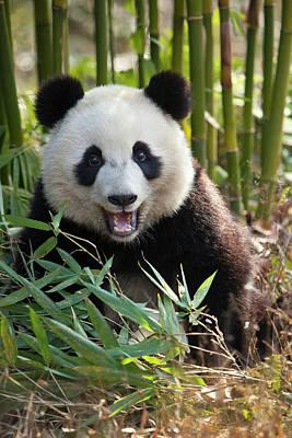 Bamboo Photograph - China, Chengdu, Chengdu Panda Base by Jaynes Gallery