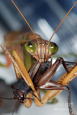 Photograph - Chinese Mantid Eating A Cricket by Scott Camazine