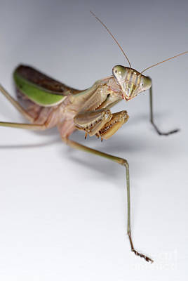 Photograph - Chinese Mantid by Scott Camazine