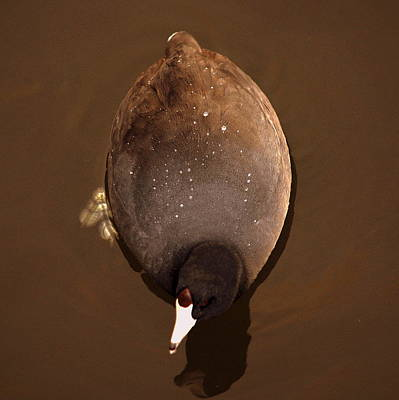 Photograph - Chocolate Coot by AJ  Schibig
