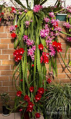 Photograph - Christmas Cactus by Steven Ralser