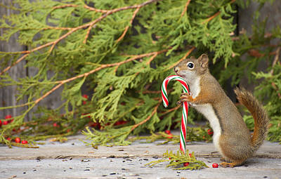 Christmas Squirrels Wall Art - Photograph - Christmas Squirrel. by Kelly Nelson