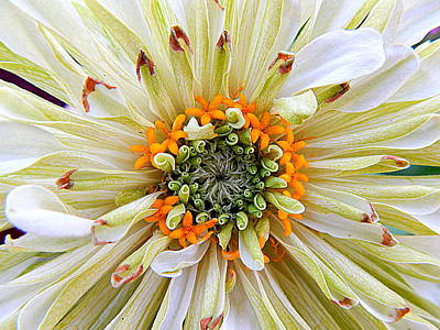 Chrysanthemum Fall In New Orleans Louisiana Art Print by Michael Hoard