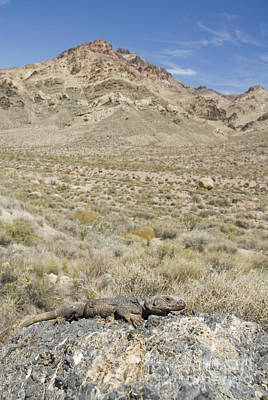 Photograph - Chuckwalla by Dan Suzio