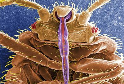 Cimex Lectularius, Bed Bug, Sem Art Print