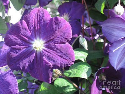 Clematis With Blazing Center Art Print