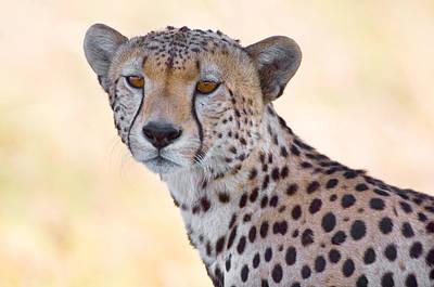 Close-up Of A Cheetah, Ngorongoro Art Print