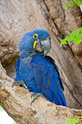 Hyacinths Photograph - Close-up Of A Hyacinth Macaw by Panoramic Images