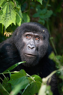 Uganda Photograph - Close-up Of A Mountain Gorilla Gorilla by Panoramic Images
