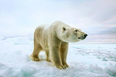 Close Up Of A Standing Polar Bear Print by Peter J. Raymond