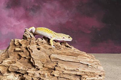 Photograph - Close-up Of Leopard Gecko Eublepharis by Panoramic Images
