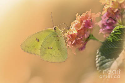 Clouded Sulphur Butterfly Art Print by Betty LaRue