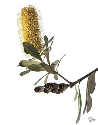 Photograph - Coast Banksia by Endre Balogh