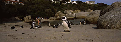 Colony Of Jackass Penguins Spheniscus Art Print by Panoramic Images