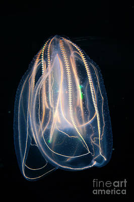 Photograph - Comb Jelly by Gregory G Dimijian